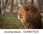Lion King In Zoo