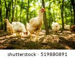 free range chicken on a... | Shutterstock . vector #519880891