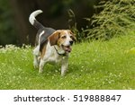 purebred beagle dog hunting in... | Shutterstock . vector #519888847