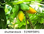 papaya hanging in a tree  | Shutterstock . vector #519895891