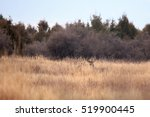 Mule Deer Buck Standing In Far...
