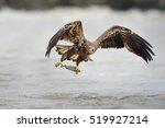 A Juvenile Bald Eagle Flies Lo...