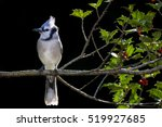 A Blue Jay Sits Perched On A...