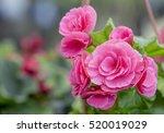 Pink Camellia Flower Blooming...