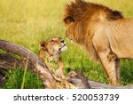 beautiful lioness greeting lion ... | Shutterstock . vector #520053739