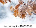 Hoar Frost On Oak Leaves