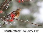 fieldfare sitting on the... | Shutterstock . vector #520097149