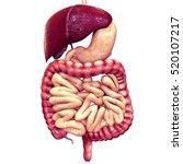 human digestive system | Shutterstock . vector #520107217