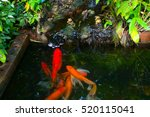 Several Koi Carp Fish In The...