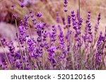 natural lavender field.... | Shutterstock . vector #520120165