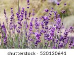 lavender flowers blooming.... | Shutterstock . vector #520130641