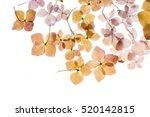 dry hydrangea | Shutterstock . vector #520142815