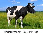 Stock photo cow on a summer pasture 520144285