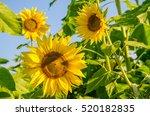 nice and warm in summer field... | Shutterstock . vector #520182835
