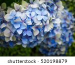 blue hydrangea in christchurch... | Shutterstock . vector #520198879