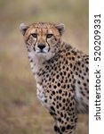 Small photo of A vertical photograph of one Cheetah (Acinonyx jubatus) standing at attention at sunset