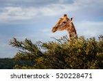 giraffe looking over trees into ... | Shutterstock . vector #520228471