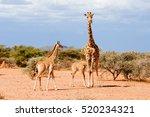 giraffe with offspring | Shutterstock . vector #520234321