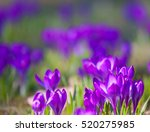 Violet Crocus During Spring...