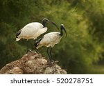 Two Birds  African Sacred Ibis...