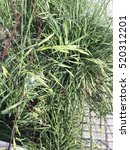 Small photo of Rescuegrass or grazing brome, Bromus catharticus