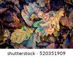 oaks autumn leafage   abstract... | Shutterstock . vector #520351909