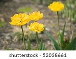 yellow tulip flower background | Shutterstock . vector #52038661