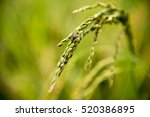 rice plant | Shutterstock . vector #520386895