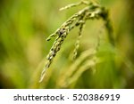 rice plant | Shutterstock . vector #520386919