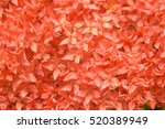Close Up Red Bunch Of Ixora ...