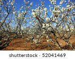 Almond tree orchard - stock photo