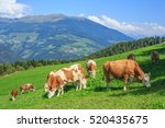 cows grazing in alpine meadows  ... | Shutterstock . vector #520435675