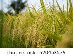 rice fields rice field green...   Shutterstock . vector #520453579