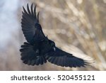 birds   flying black common... | Shutterstock . vector #520455121