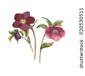 watercolor botanical... | Shutterstock . vector #520530511