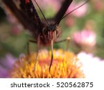 butterfly drinking nectar from... | Shutterstock . vector #520562875