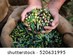 harvested fresh olives in the... | Shutterstock . vector #520631995
