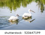A Pair Of Great White Pelican...