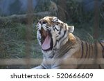Tiger Yawns At The Zoo  3 Of 7