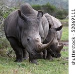 two huge white rhinos with long ... | Shutterstock . vector #52069111