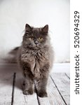 cute persian cat looking | Shutterstock . vector #520694329