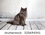 Stock photo ortrait of longhair persian cat 520694341