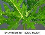 papaya leaf | Shutterstock . vector #520750204