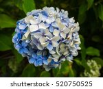 blue and white hydrangea in... | Shutterstock . vector #520750525