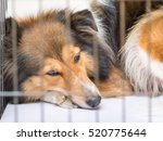 Dog In Cage Series  Shetland...