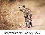 leopard looking back in the... | Shutterstock . vector #520791277