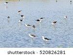 birds red wattled lapwing. | Shutterstock . vector #520826281