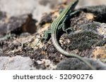 Small photo of Tail autotomy of Tyrrhenian Wall lizard, Podarcis tiliguerta, Corsica