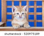 Stock photo golden kitten 520975189