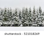 Pine Trees In A Row. Snowy...